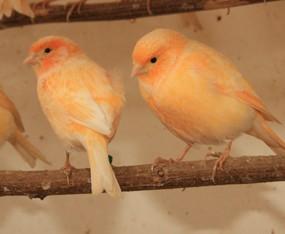 Kanarienvogel 0,1
