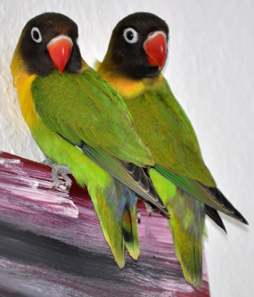 Schwarzköpfchen Vögel Tiere Emporium Onlineshop